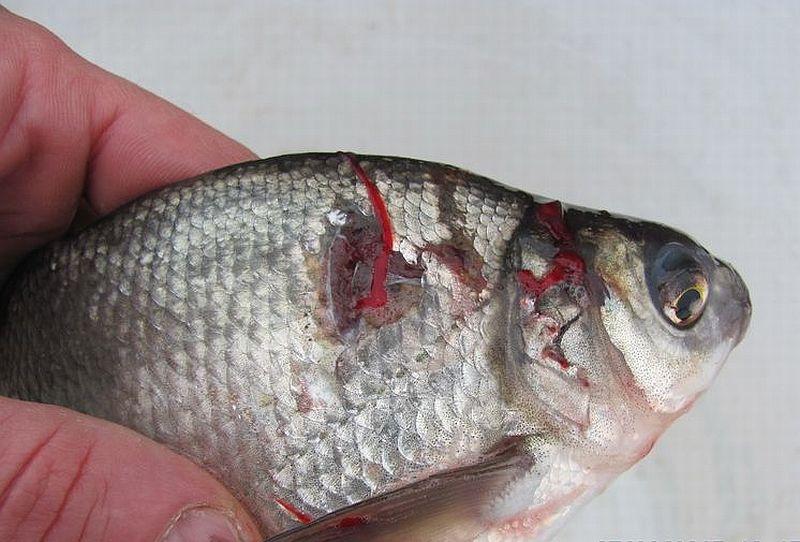 ловить рыбу на драч